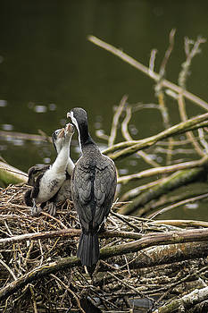 Hungry Pied Shag Chicks by Racheal Christian