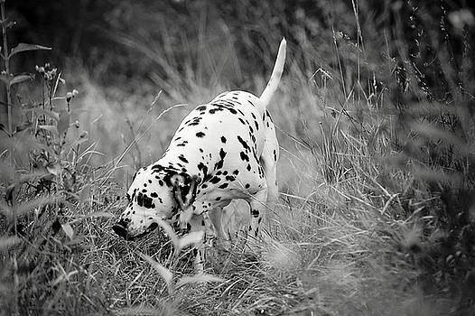 Jenny Rainbow - Hunting Dalmatian