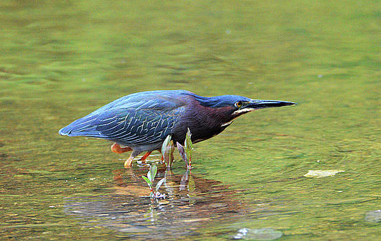 Hunting Green Heron by Kathy Kelly