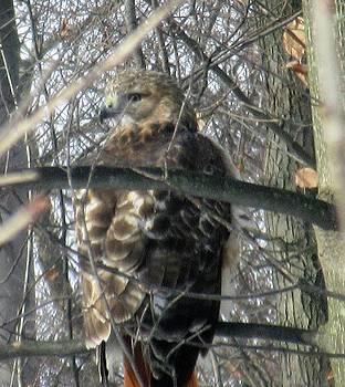 Hunting Hawk by Gordon Wendling