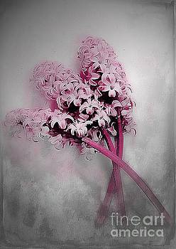 Hyacinth Dust by Clare Bevan