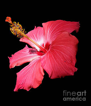 Hybiscus Flower Portrait by Diane E Berry