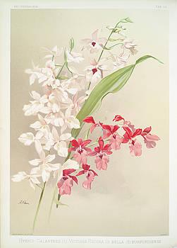 Ricky Barnard - Hybrid Calanthes, Victoria Regina, Bella, Burfordiense