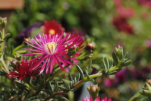 Sumit Mehndiratta - Hybrid carnation