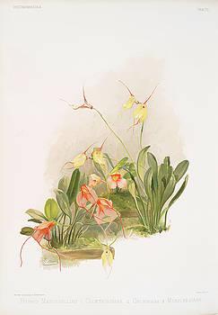 Ricky Barnard - Hybrid Masdevallias, Courtauldiana, Geleniana, Measuresiana