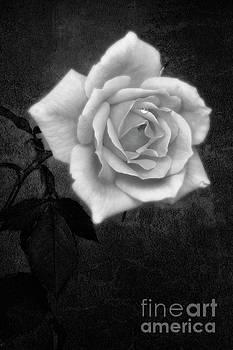Hybrid Tea Rose variety Congratulations by John Edwards