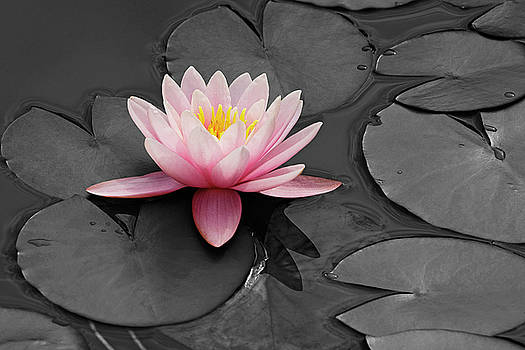 Water lily 02 by Nick Kurzenko
