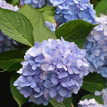 Hydrangea  by Eve Tamminen