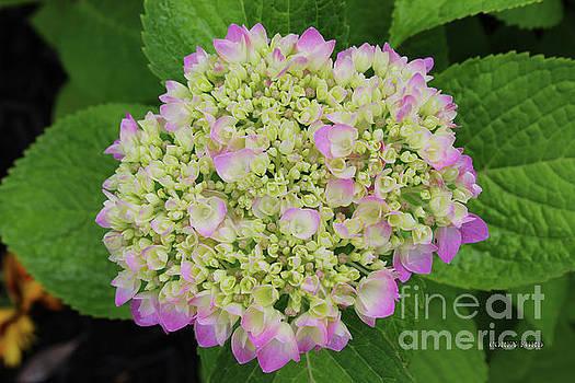 Corey Ford - Hydrangea Bloom
