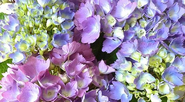 Hydrangea Bloom by WDM Gallery