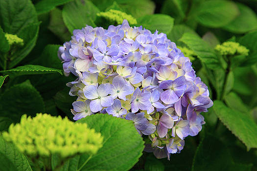 Gaspar Avila - Hydrangea blooming