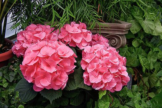 Jill Lang - Hydrangea Blooms