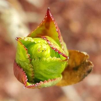 Hydrangea Bud By Tammy Finnegan by Tammy Finnegan