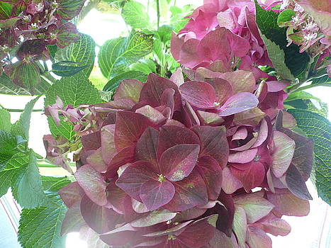 Hydrangea Effusion by Connie Young