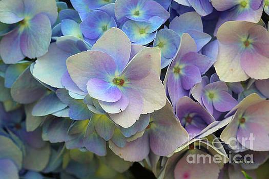 Corey Ford - Hydrangea Flower