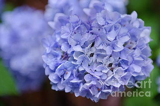 Hydrangea Flower Petals by Dale Powell