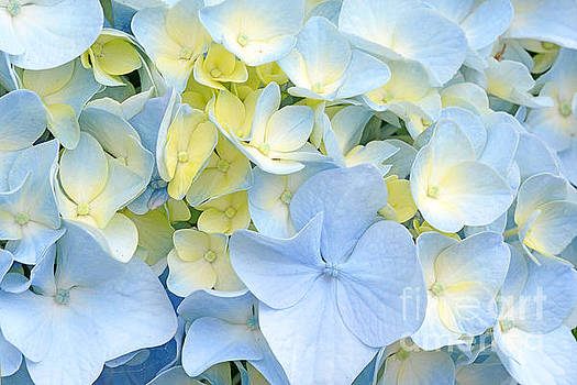 Regina Geoghan - Hydrangea in Blue and Yellow