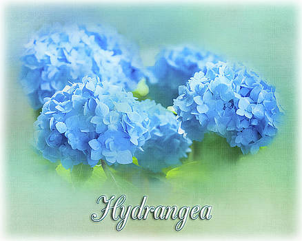 Hydrangea in Blue by Cathy Kovarik