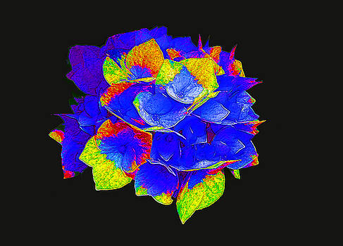 Hydrangea on Black 2 by Bruce Iorio