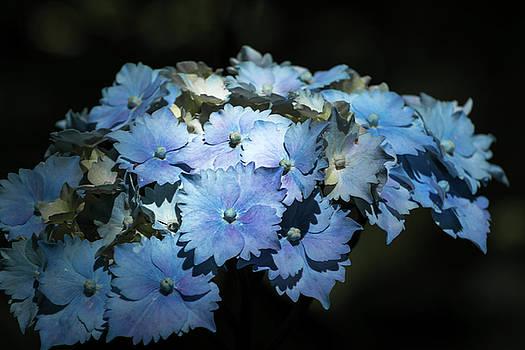 Hydrangea  by Bren Ryan