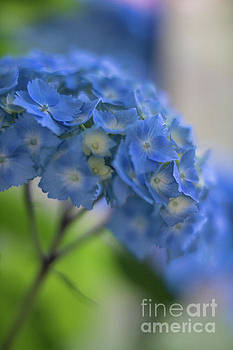 Mike Reid - Hydrangeas Blues Glow