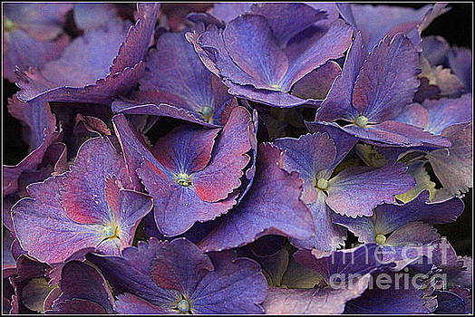 Hydrangeas in Shades of Purple and Blue by Dora Sofia Caputo Photographic Art and Design