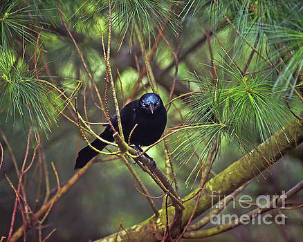 I Have My Eyes On You - Grackle in the Pines by Kerri Farley