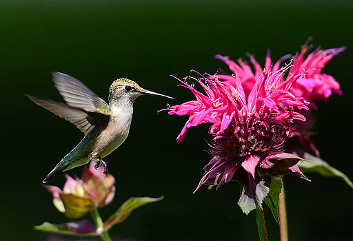 I Love My Bee Balm by Rodney Campbell