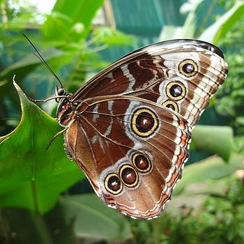 I Released This Blue Morpho Butterfly by Melissa Yosua-Davis