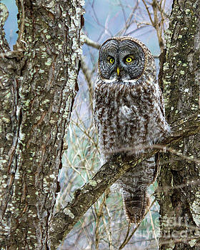 I See It - Great Gray Owl by Lloyd Alexander