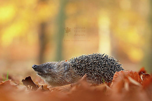 I Smell Autumn - Hedhehog on the Move by Roeselien Raimond