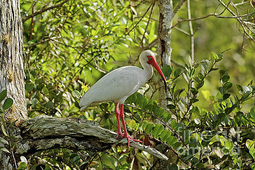 Ibis in a Tree by Natural Focal Point Photography