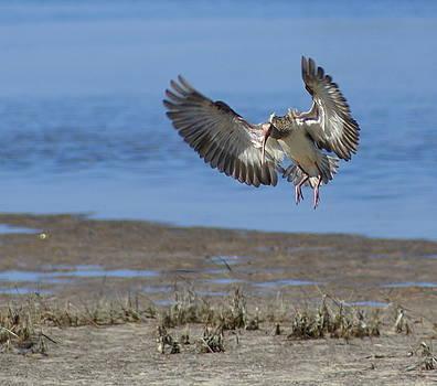 Ibis In Flight by Debbie May