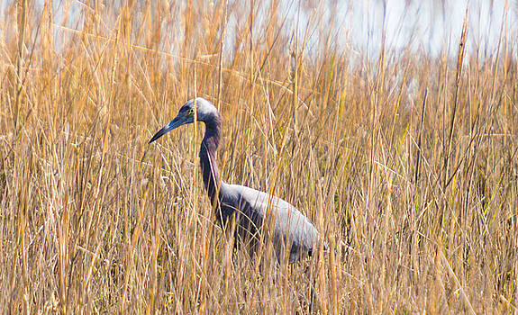 Ibis in the grass by BG Flanders