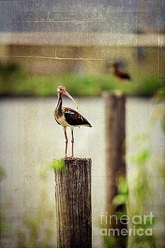 Ibis  by Joan McCool