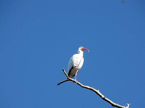 Ibis Standing On Cypress Branch by Robert Beverly