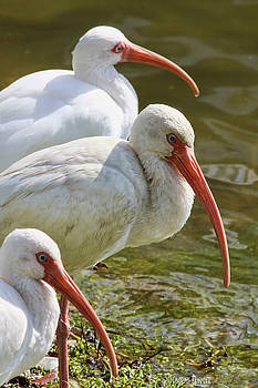 Deborah Benoit - Ibis Three