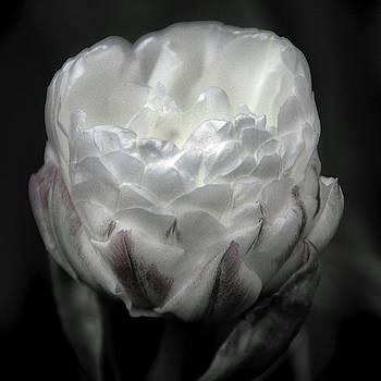 Ice Cream Tulip by Winnie Chrzanowski