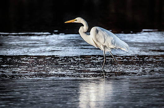 Ice Water Egret by Ray Congrove
