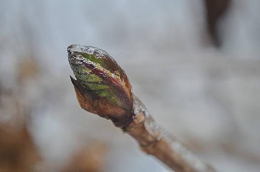 Iced Leaf Bud by Emilia Brasier