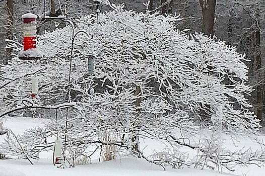 Iced Maple by Brenda Stevens Fanning