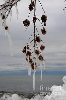 Iced Ninebark by Sandra Updyke