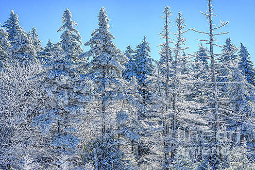 Iced Trees Monongahela National Forest by Thomas R Fletcher
