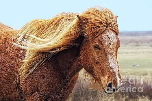 Iceland horse in the wind by Angela Doelling AD DESIGN Photo and PhotoArt