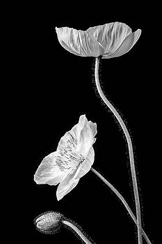 Iceland Poppy Still life In Black And White by Garry Gay