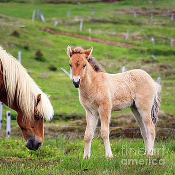 Icelandic Foal by Silken Photography
