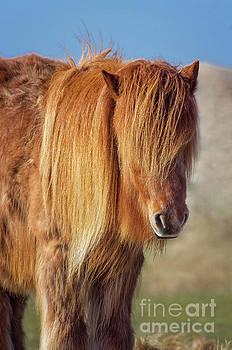 Icelandic horse by Angela Doelling AD DESIGN Photo and PhotoArt