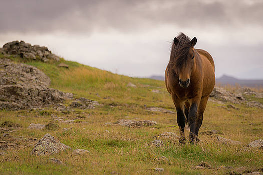 Icelandic Horse by Chris McKenna