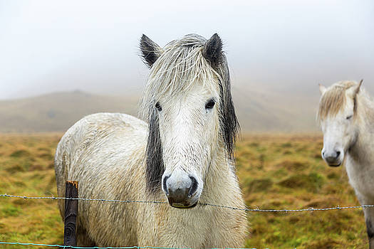 Icelandic Horse by Elyssa Drivas