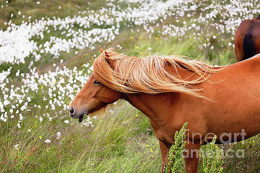 Icelandic Horse Grazing in a Meadow by George Oze